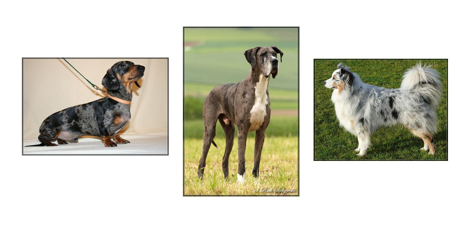 Dackel (Tigerschecke), Grautiger-Dogge und Australian Sheperd in Blue Merle